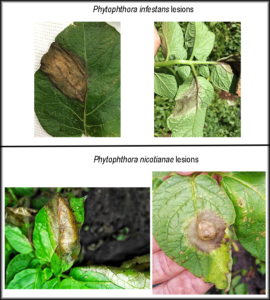 Cover photo for Phytophthora nicotianae Causing Severe Disease on Potato and Tomato in North Carolina